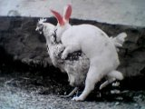 chickabbit